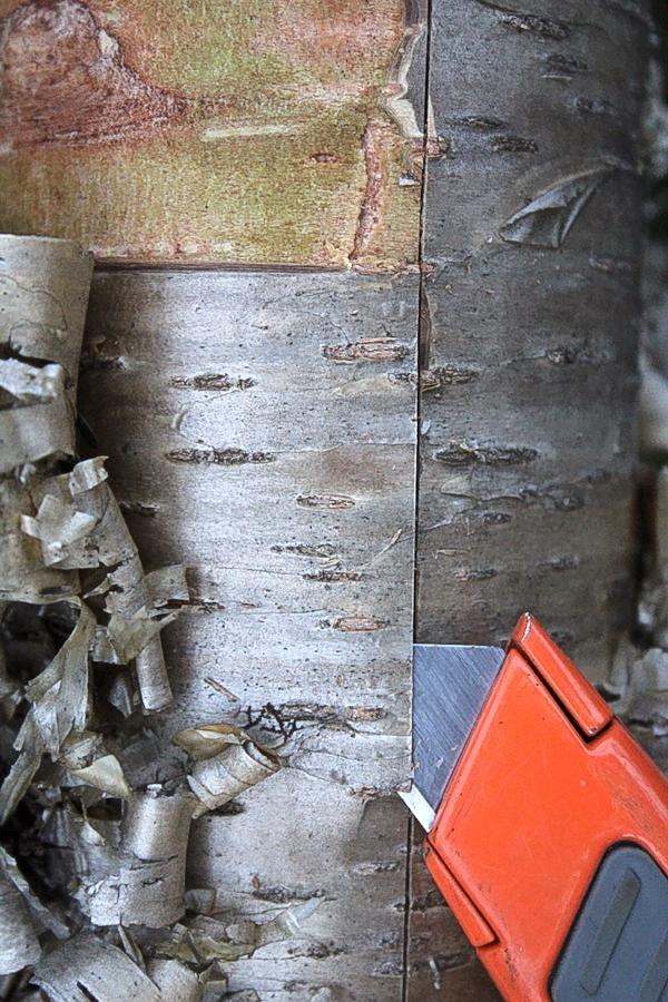 Removing Birch Bark