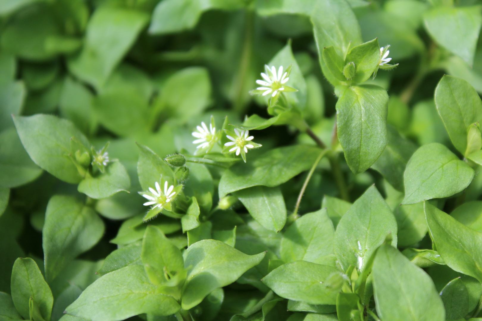 Chickweed Flowers