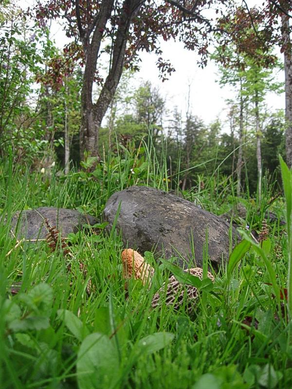 Morel mushrooms under apple tree