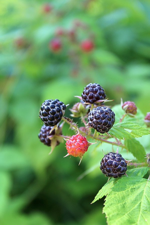 Ripe Black Rasberries