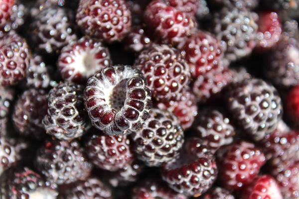 Black Raspberry Harvest