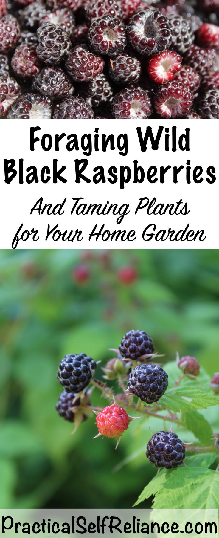 Foraging Wild Black Raspberries ~ Taming Plants for Your Home Garden #blackraspberries #raspberries #foraging #wildfood #forage #selfsufficiency #wildcrafting #gardening #organicgardening #howtogrow #gardeningtips #growingraspberries