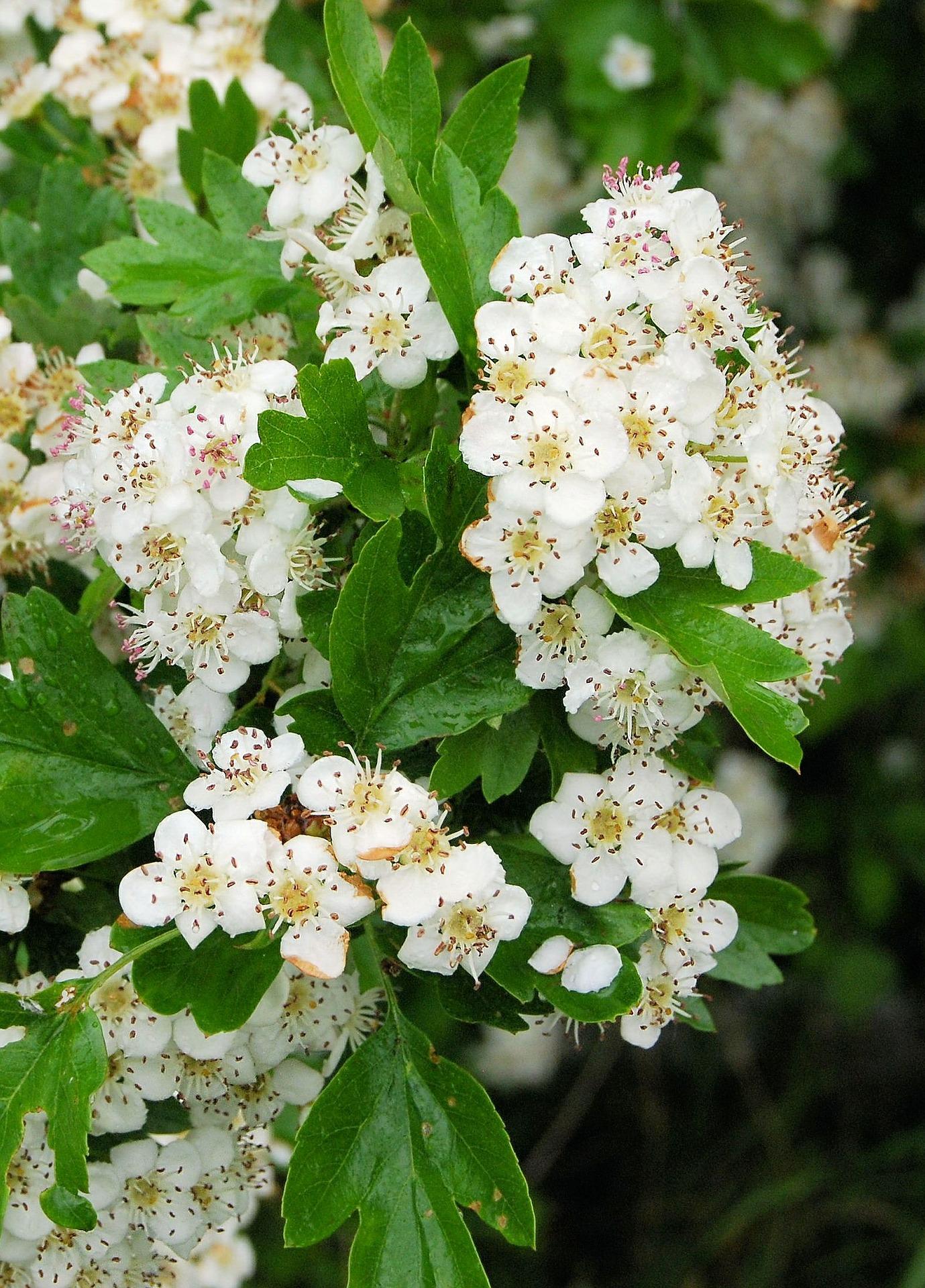 Medicinal Hawthorn Flowers