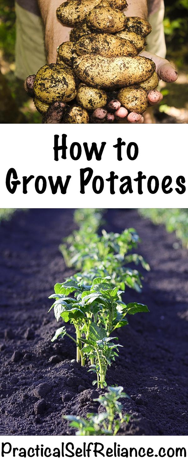 How to Grow Potatoes #potatoes #growingpotatoes #gardening #organicgardening #containergardening #howtogrow #vegetablegardening #gardeningtips #homesteading #homestead #selfreliant