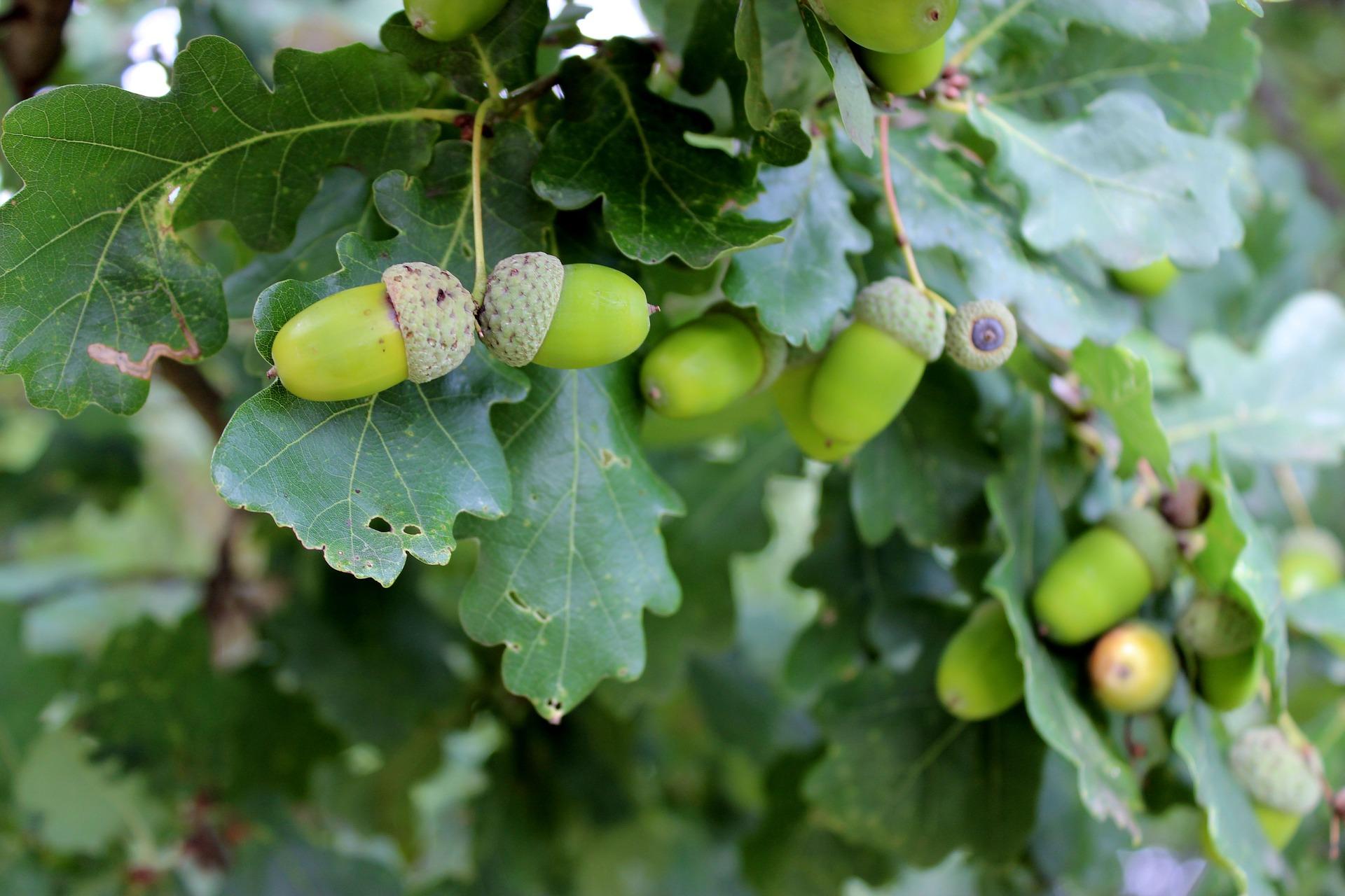 Medicinal Oak Tree