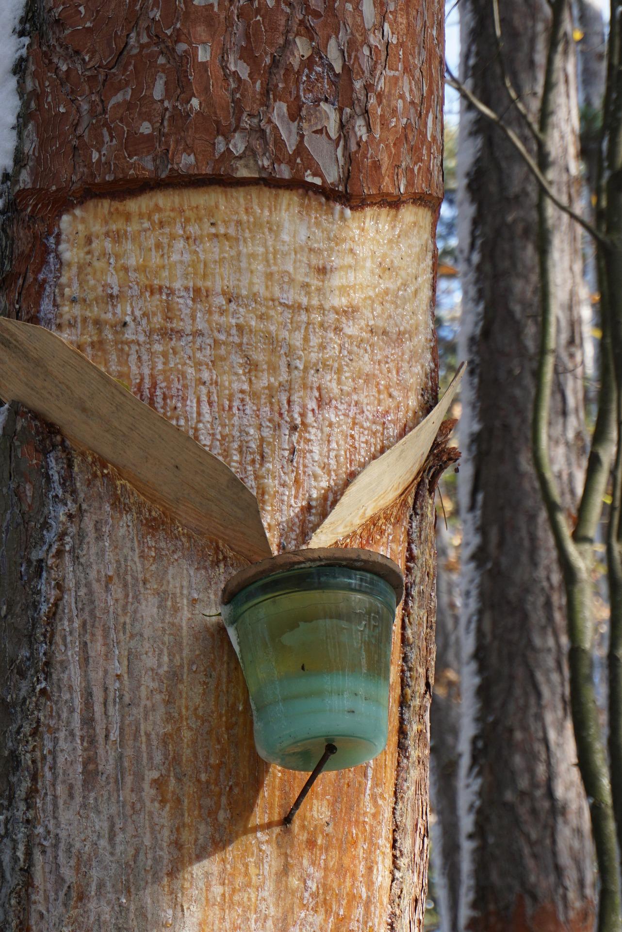 Medicinal Pine Resin