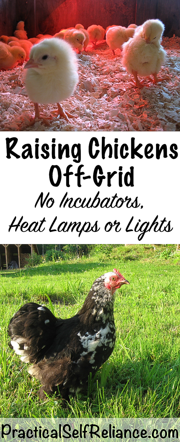 Raising Chickens Off-Grid ~ No Electricity, lights, incubators or heat #chickens #backyardchickens #raisingchickens #brooder #offgrid #selfsufficency #homestead #homesteading