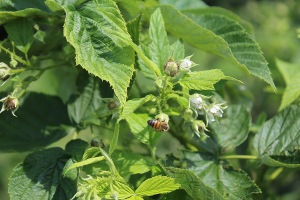 Honeybee feeding at a raspberry flower at a raspberry pick your own.