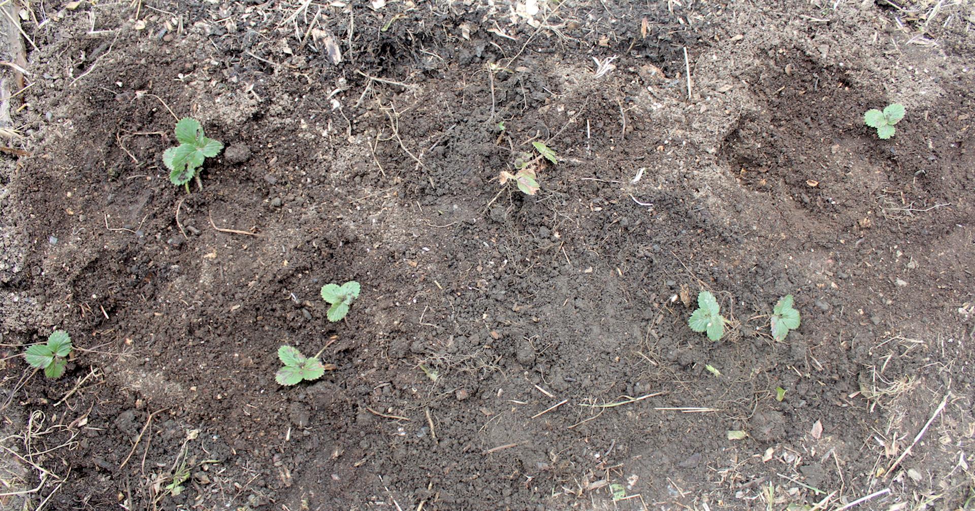Strawberry Plant Spacing