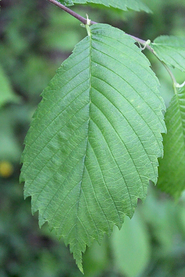 Slippery Elm Tree Leaf