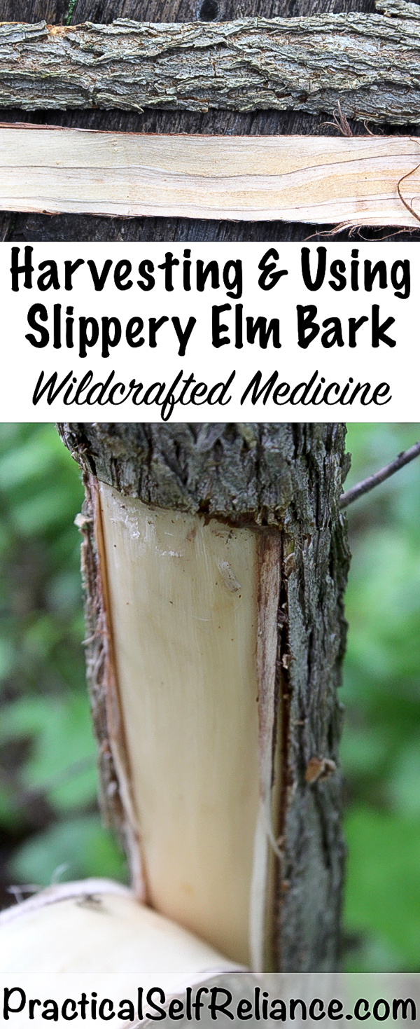 Harvesting & Using Slippery Elm Bark ~ Wildcrafted Medicine #slipperyelm #herbs #naturalremedy #herbalist #herbalism #forage #foraging #wildcrafting