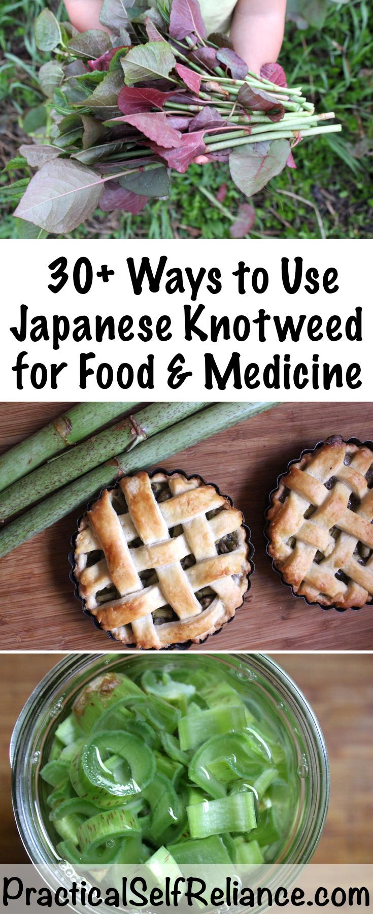 Using Japanese Knotweed for Food and Medicine  #knotweed #foraging #wildfood #gardening #ediblewildfood #spring #springgreens #forage #selfsufficiency