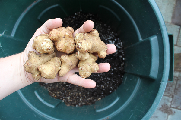 Growing Sunchokes in a Trash Can