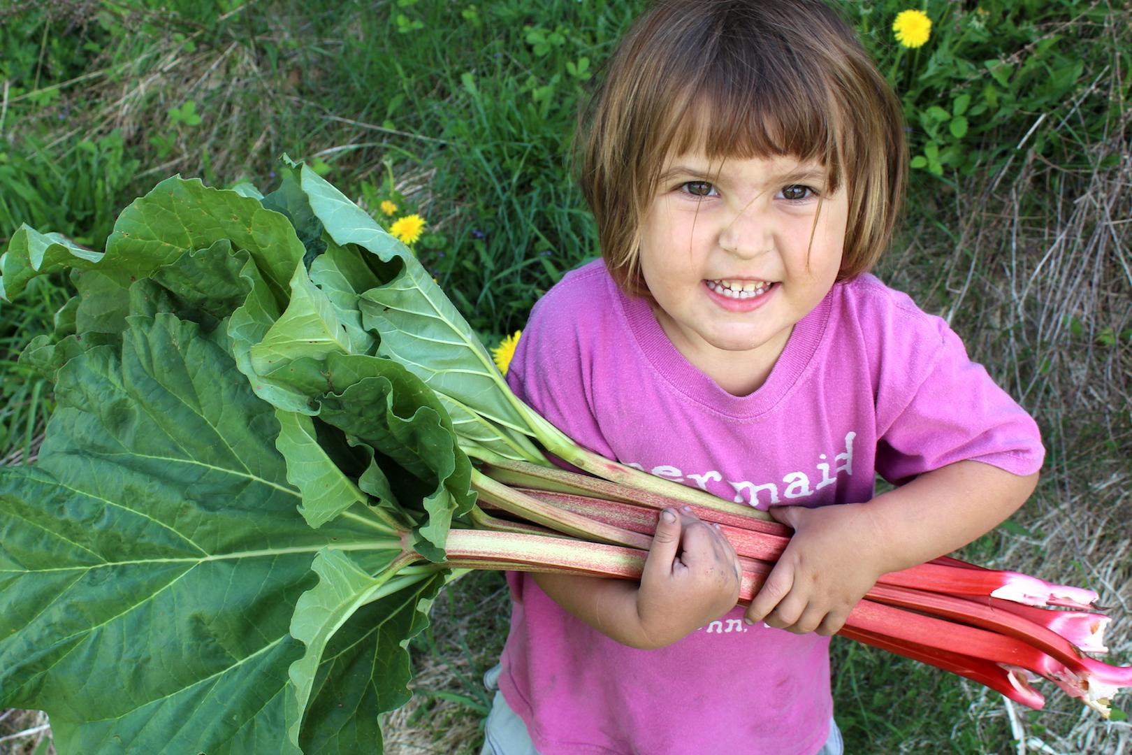 Rhubarb Harvest