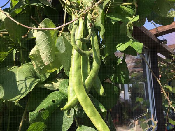 Growing Green Beans