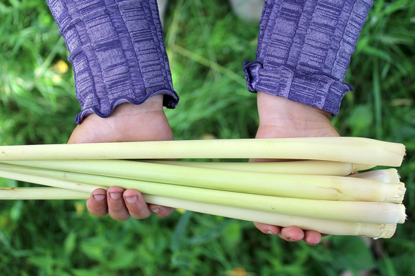 Harvesting Lemongrass