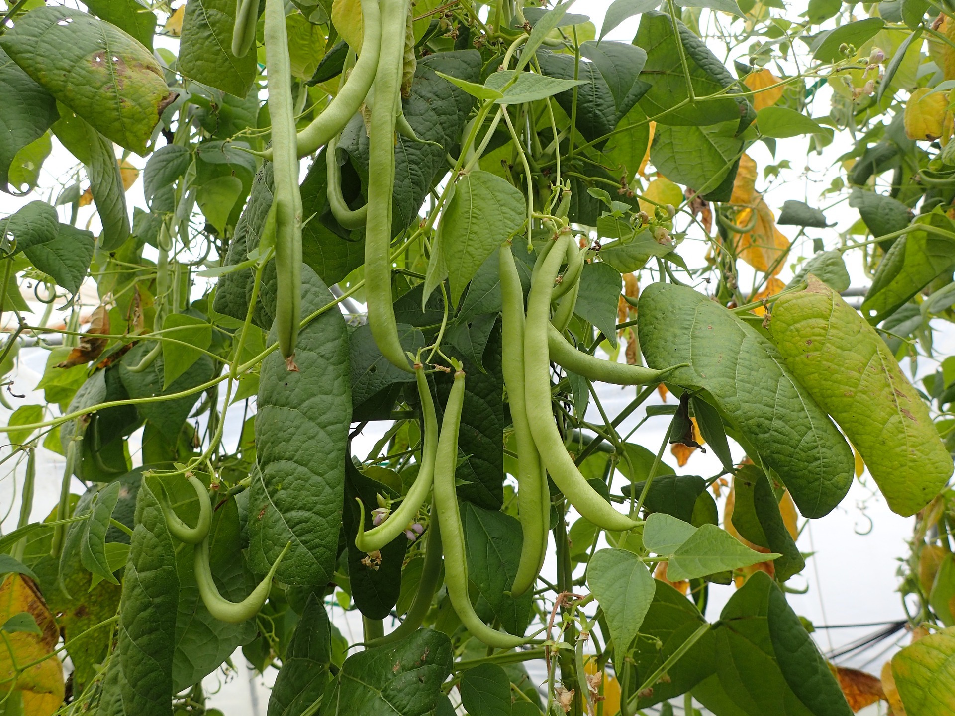 Pole Beans Producing a Crop