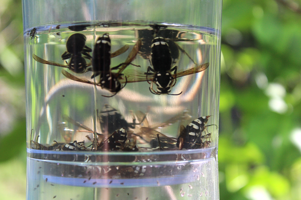 Effective Wasp Trap - Non Toxic