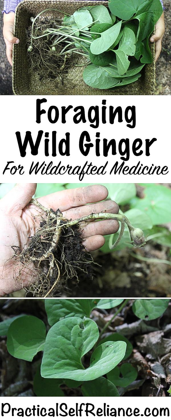 Foraging Wild Ginger ~ Wildcrafted Medicine #foraging #forage #herbalism #wildcrafting #herbalmedicine