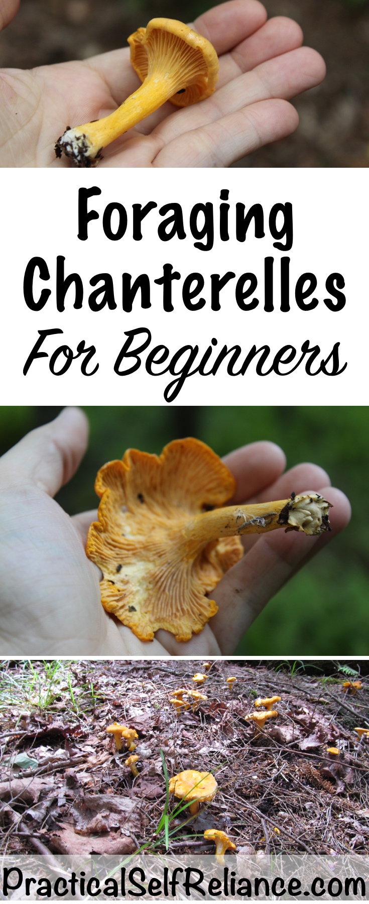Foraging Chanterelles for Beginners #foraging #forage #mushrooms #ediblemushrooms #wildfood #wildcrafting #chanterelles #chanterellemushrooms