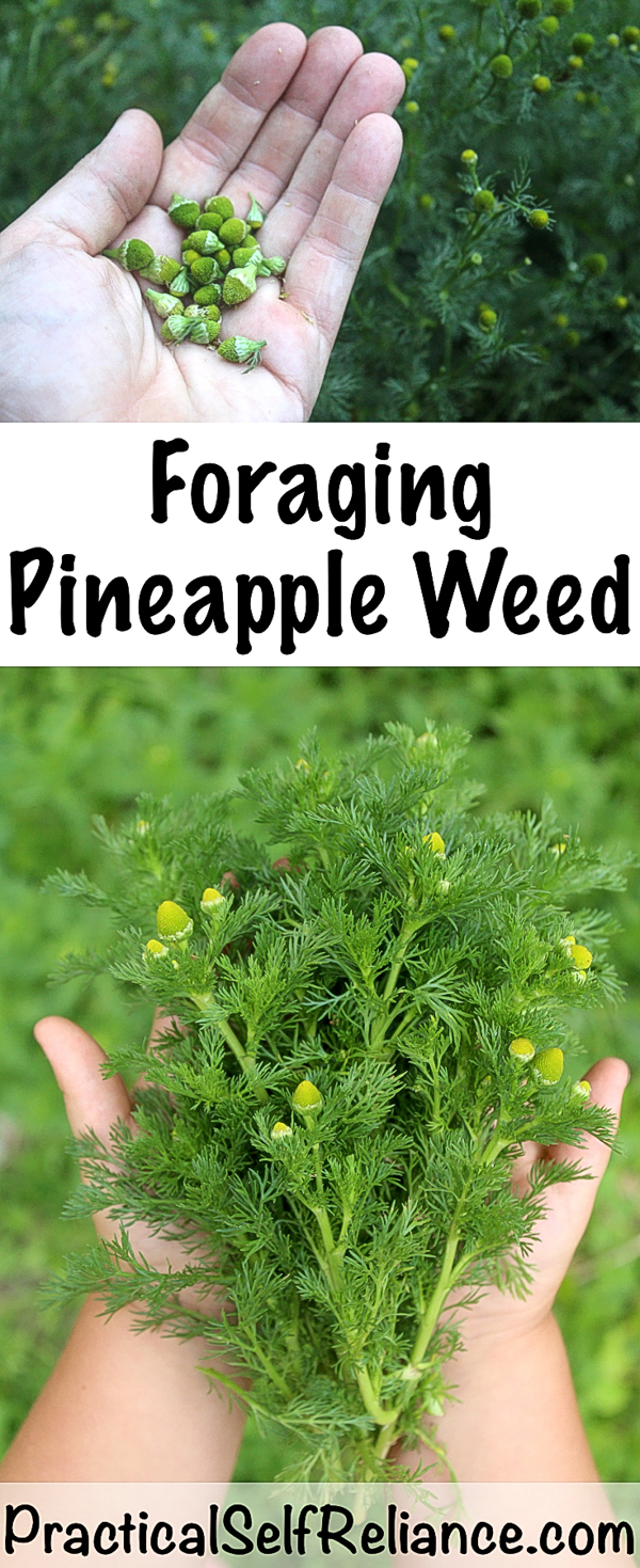 Foraging Pineapple Weed #foraging #forage #wildfood #pineappleweed #wildcrafting #chamomile