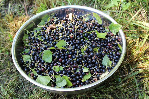 Black Currant Harvest in Vermont