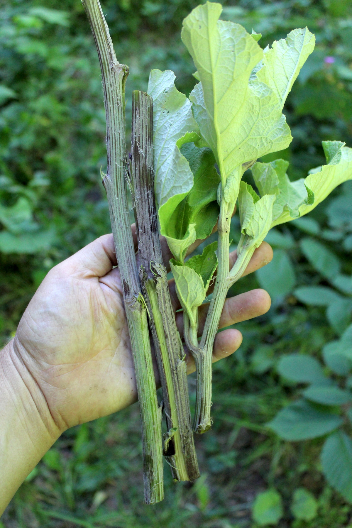 Burdock Stems