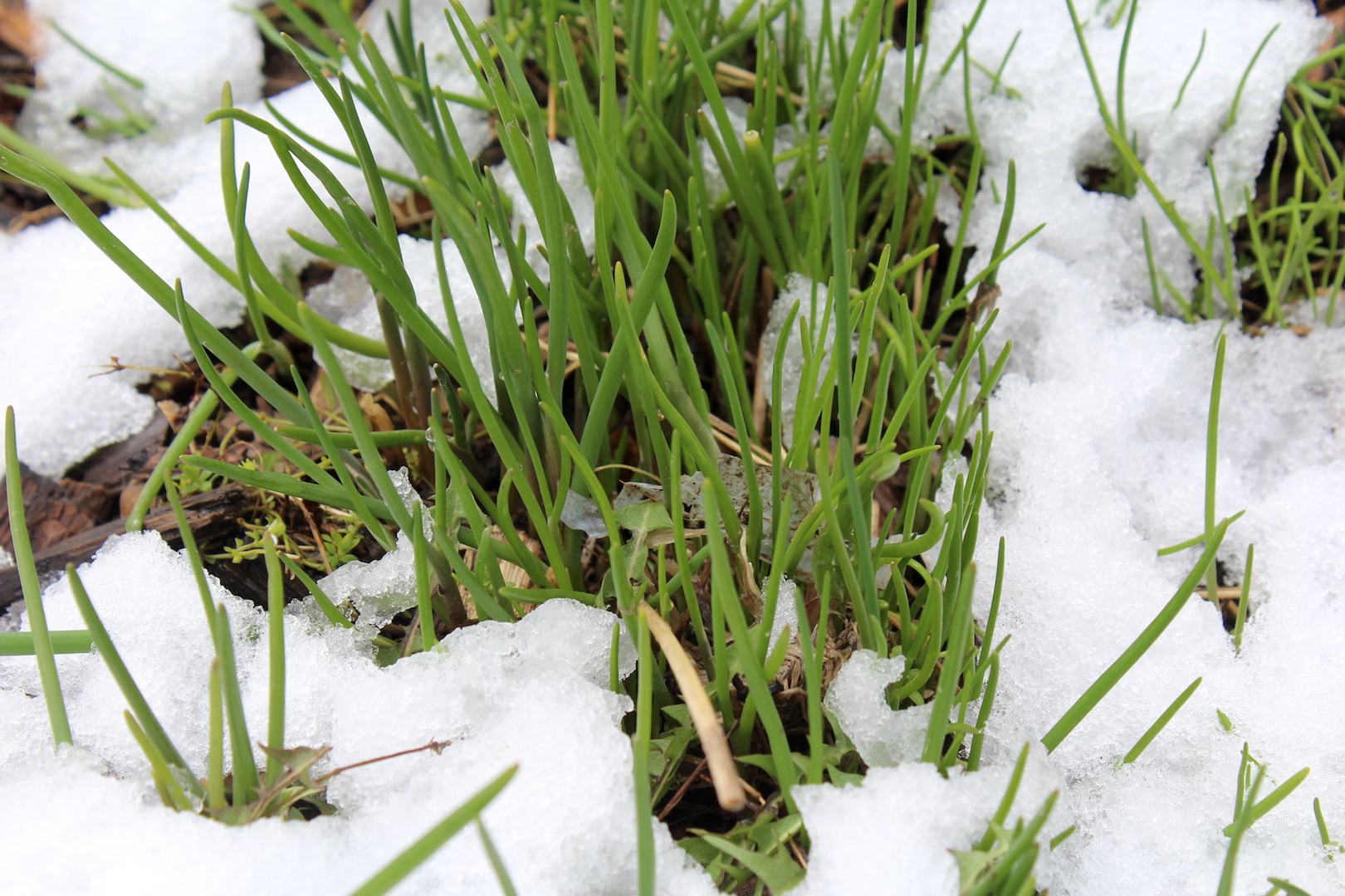 Chives Sprouting in Spring