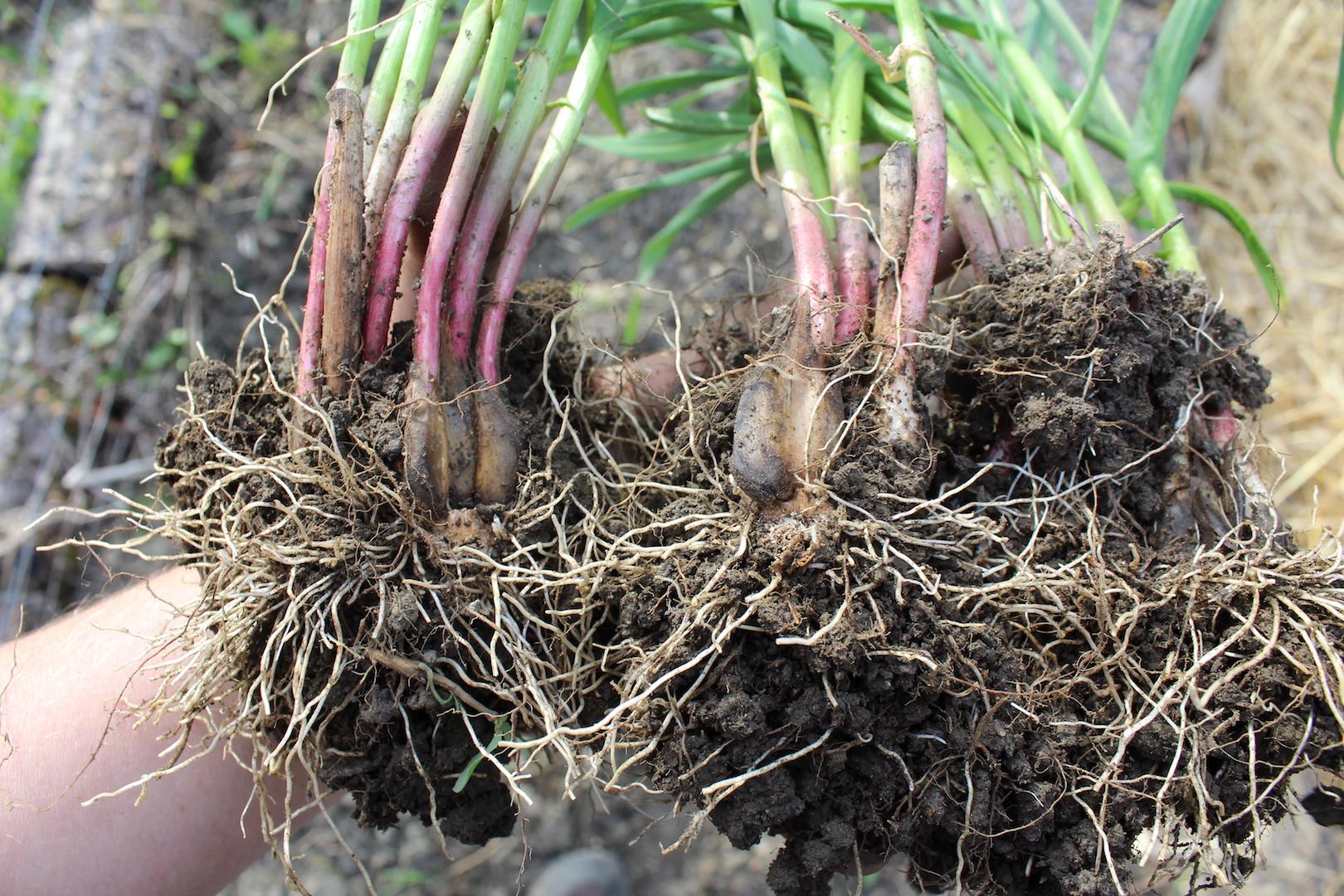 Perennial Garlic