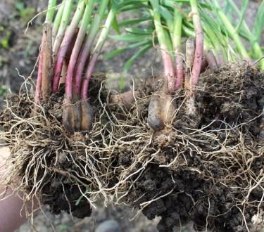 Growing Garlic as a Perennial