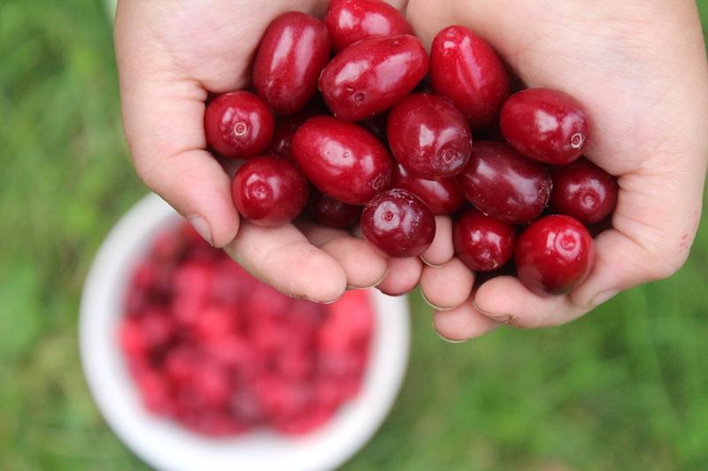 Cornelian Cherry Harvest