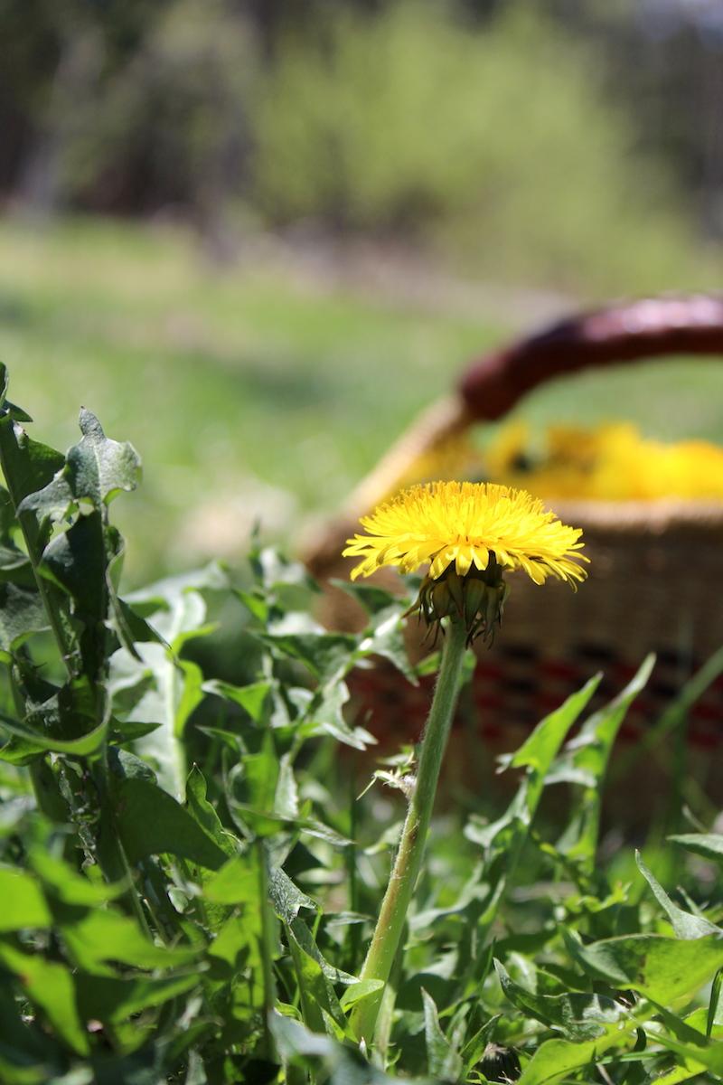 Dandelion Blossom Edible and Medicinal