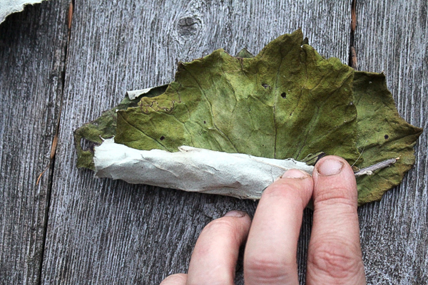 Rolling Coltsfoot for Burning
