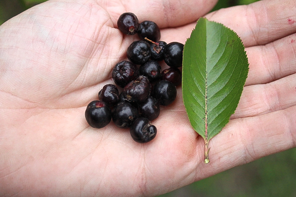 Chokeberry Fruit and Leaf