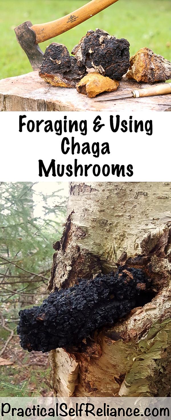 Foraging and Using Chaga Mushrooms #chaga #mushrooms #chagamushroom #foraging #mushroomhunting #forage #wildedibles #wildcrafting #medicinal #uses
