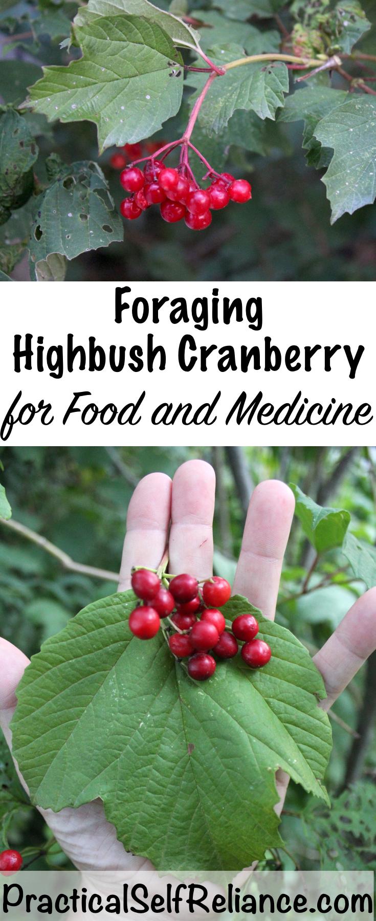 Foraging Highbush Cranberry for Food and Medicine