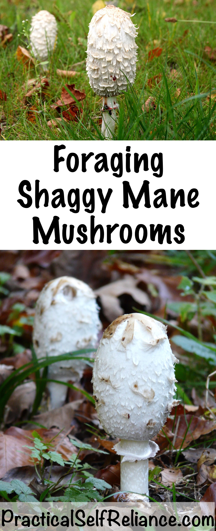 Foraging Shaggy Mane Mushrooms ~ How to identify and use this common wild mushroom #shaggymanes #mushrooms #mushroomhunting #foraging #forage #wildedibles #wildcrafting #ediblemushrooms #selfsufficiency