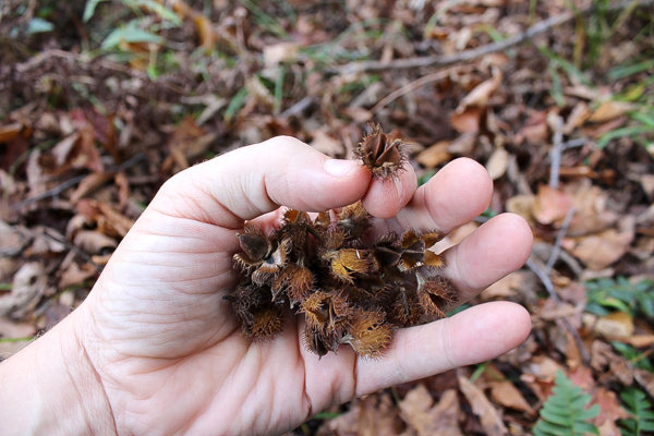Handful of Beech Nuts