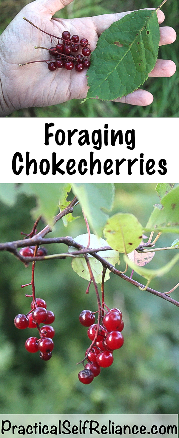 Foraging Chokecherries ~ Identifying and Using Chokecherries #foraging #chokecherries #forage #wildcrafting #wildedibles #preparedness #homesteading #selfsufficiency #selfreliant