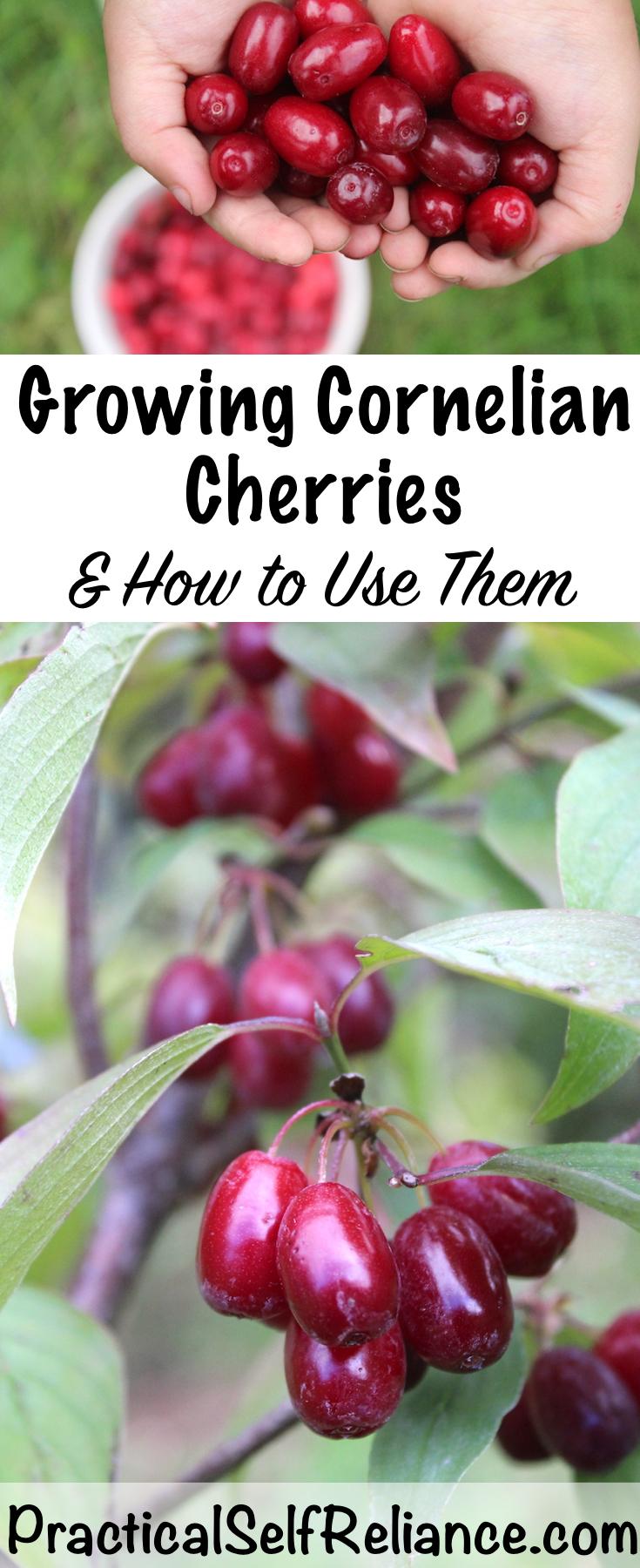 Growing Cornelian Cherries ~ How to Grow and Use Cornelian Cherries ~ Perfect for Permaculture Plantings #cornelian #cherries #permaculture #howtogrow #orchard #homesteading #selfsufficiency #growingfood