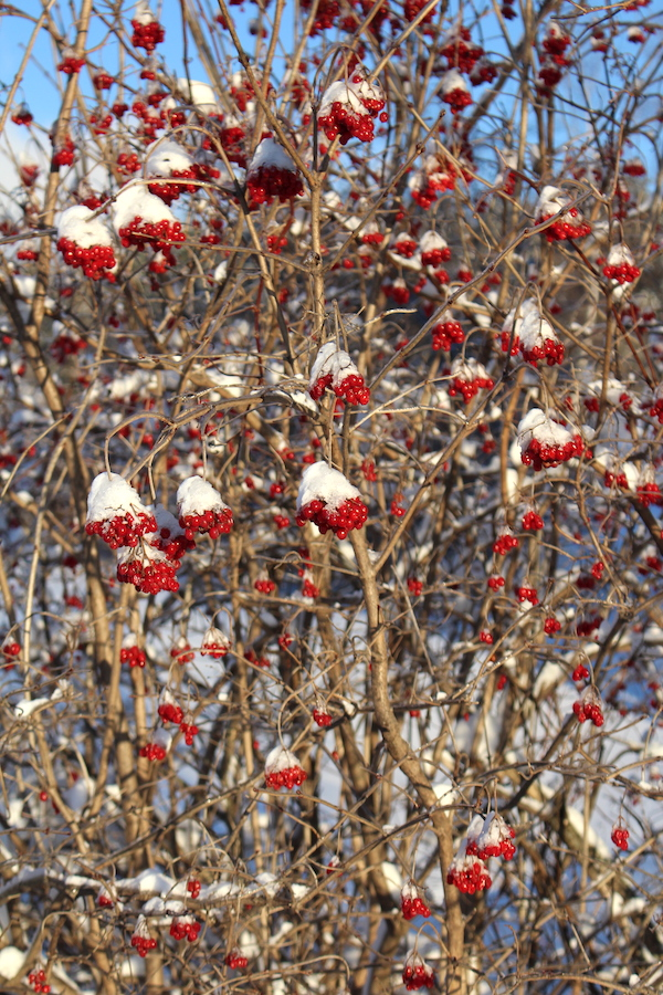 Highbush cranberry fruit hand on the bushes all winter long.  Here's one in February in Vermont.