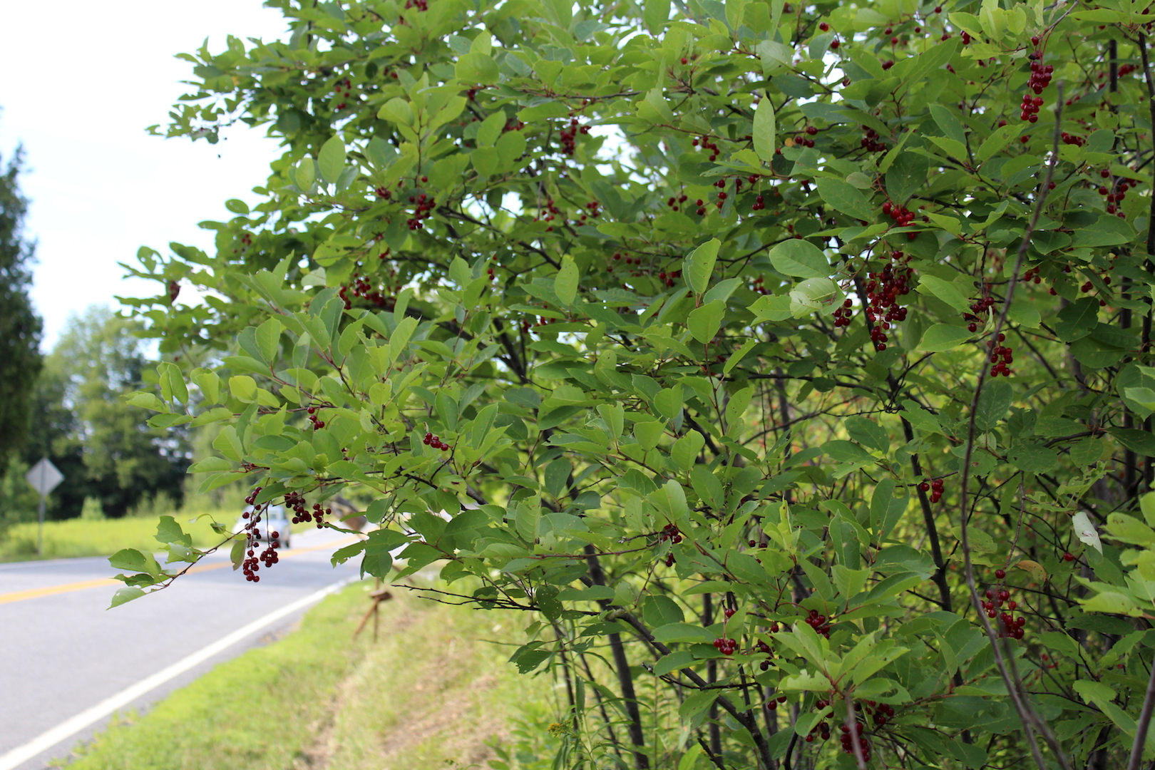 Roadside Chokecherry Bush