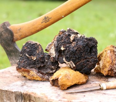 Foraging and Using Chaga Mushroom