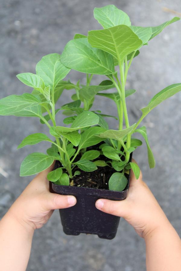 Ashwagandha Seedling