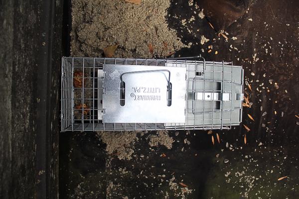 Rooftop Squirrel Trap Setup