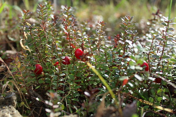 Cranberry Plants Fruiting
