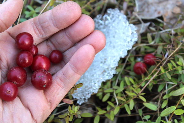 Harvesting Cranberries in the Spring after snow melt