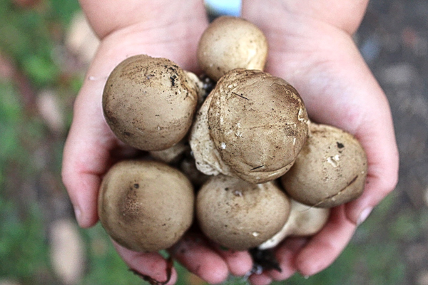 Foraging Puffball Mushrooms