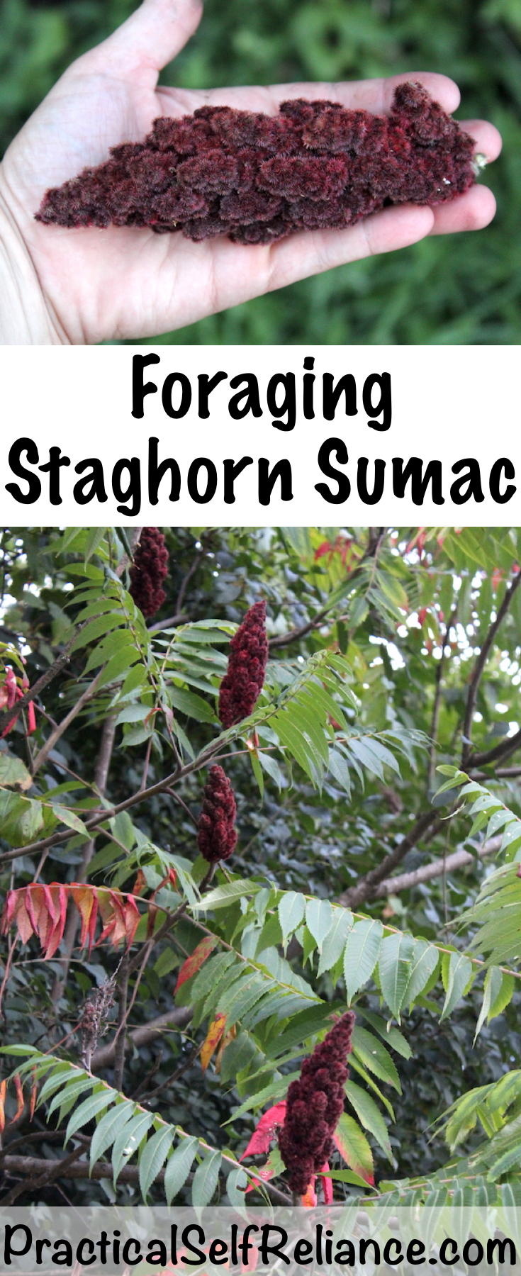 Foraging Staghorn Sumac ~ A natural source of Vitamin C.  Sumac is easy to forage anywhere on the east coast of the united states.  It's both easy to find and identify. #foraging #wildfood #wildcrafting #survival #bushcraft #herbalism #sumac #uses #identification #harvesting