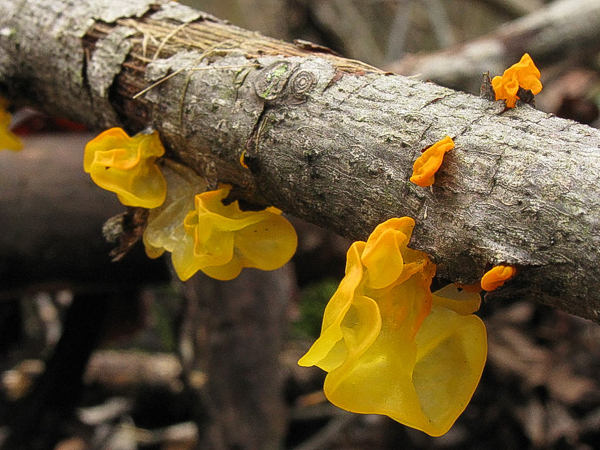 Yellow witches butter (Tremella mesenterica) on a hardwood branch.